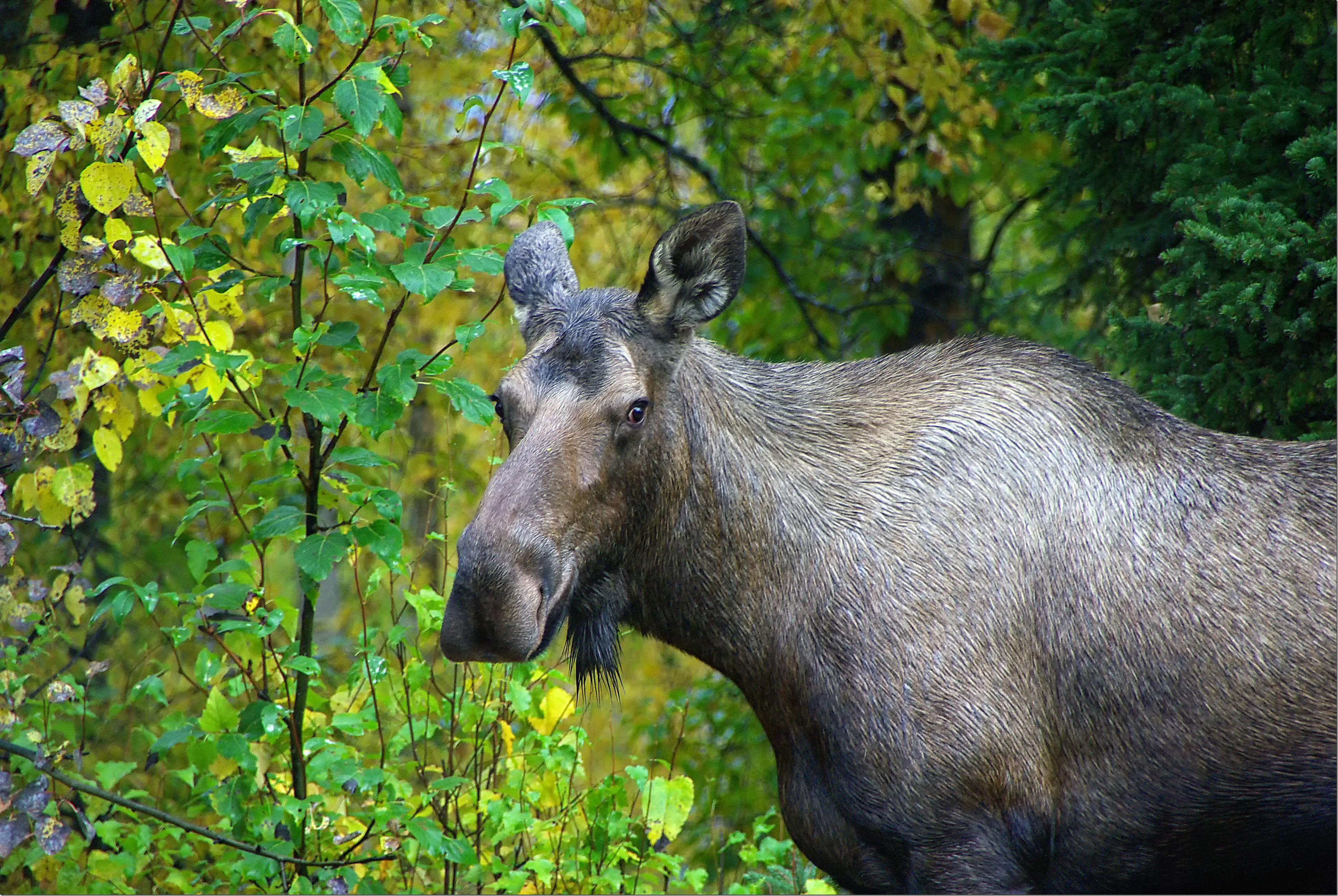 Moose 092108.01