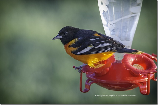 Baltimore Oriole 052413.02.1024