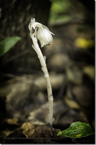 Indian Pipe - Monotropa uniflora 072813.01.1024