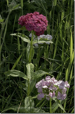 Sweet William - Dianthus barbatus 071313.01.1024