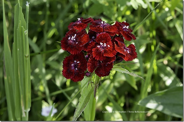 Sweet William - Dianthus barbatus 071313.02.1024