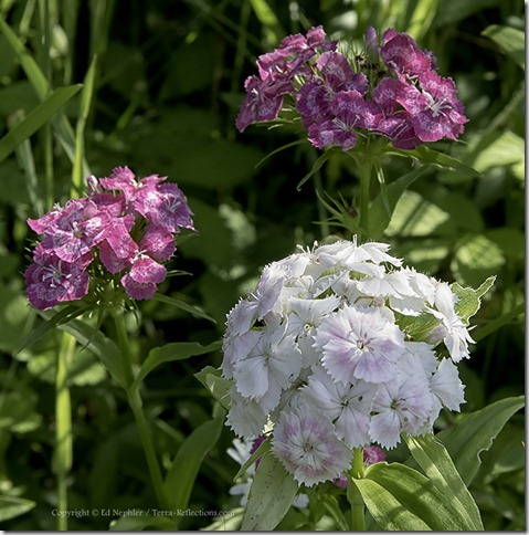 Sweet William - Dianthus barbatus 071313.04.1024